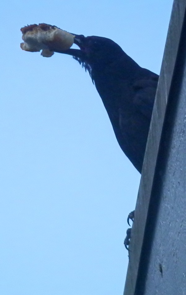 A crow with a full beak..